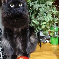 くーちゃん!/黒猫/ペット/猫/雑貨 くーちゃん!とリンゴ‼️ おとさないでね…