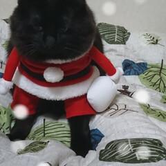 ペット/猫/にゃんこ同好会/クリスマス 再投稿ブラックサンタ🎅 くーちゃん!サイ…