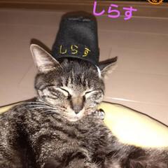 猫/しらすのその後🎵/キジトラ/保護にゃん🐈 昨年10月に保護した、キジトラにゃん🐱し…
