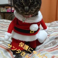 保護にゃん🐱しらす/クリスマス2019/リミアの冬暮らし 保護にゃん🐱キジトラ猫さん🎵 名前つけま…(1枚目)
