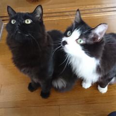 猫ちゃん/姉妹ツーショット ピーチ❗クッキー❗姉妹❗いつでも一緒のわ…