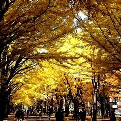 紅葉/北大いちょう並木/北海道/秋/おでかけ 今年の北大いちょう並木です。 今年も素晴…