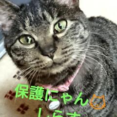 キジトラ猫ちゃん/しらす/にゃん倶楽部/保護にゃん🐈/リミアの冬暮らし 10月に保護した、しらす🐱 まだ、里親さ…
