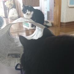 猫トンネル短いバージョン/ペット/ハンドメイド/猫/にゃんこ同好会/うちの子自慢 猫トンネル🐈🎵短いバージョン作りましたが…(3枚目)