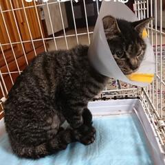 保護にゃんキジトラ 3日前に保護をしたキジトラ猫さん🐈 無事…(2枚目)