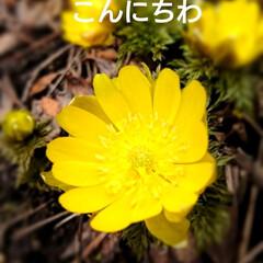 花/春/フクジュソウ/フォロー大歓迎/風景/小さい春 お彼岸のお参りに行ってきました❕ 北海道…