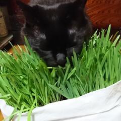 猫🐱/猫草/七夕を楽しもう/スタミナ丼/夏に向けて/スタミナご飯/... こんばんは🤗 ニャンズ🐱のために、自家製…(4枚目)