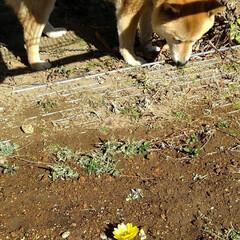 愛犬/福寿草 福寿草が咲き始めました😅 モカは、草を食…