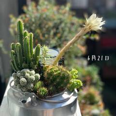 癒し/ブロカント/ジャンクガーデン/多肉のある暮らし/サボテンの花/サボテン/... 今日サボさんのお花が 咲きました〜😆  …