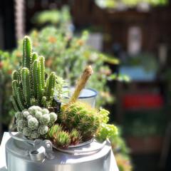 サボテンの花/古道具のある暮らし/ブロカント/サボテン/ジャンクガーデン/多肉寄せ植え/... 古道具屋さんで買った アウトドア用品のや…
