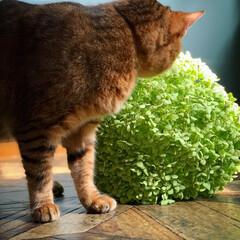リビング/保護猫/猫/レトロ好き/レトロインテリア/アナベルドライ/... 私よりモフモフやな😸   1枚目のアナヘ…