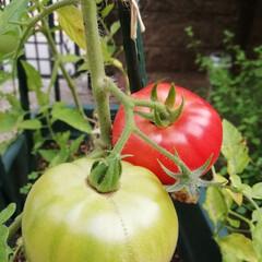ガーデニング/夏野菜 トマトができました〜ヽ(^o^)丿  こ…