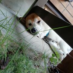ペット/癒やし/お昼寝/柴犬 暑いよ〜! 最近は、庭の椅子の下から、ち…(1枚目)