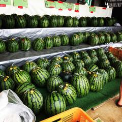 涼/新鮮/緑/果物/夏/スイカ 毎年行ってる三浦のスイカ屋 見事な緑色に…