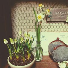 水仙/ムスカリ/春のお花/お花 フラワー/インテリア/住まい 室内に飾っていた水仙とムスカリ。  猫が…