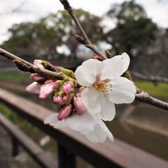 桜/花/春/料理研究家/アンナのキッチン/熊本/... 熊本城近くの通りで桜が咲き始めていました…