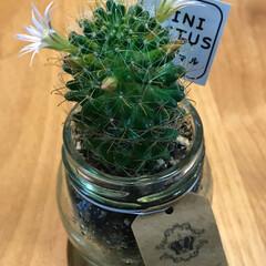 Can★Do/サボテンの花/100均 Can★Do で見つけたサボテン。 お花…