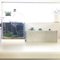 キッチンカウンター/コンクリート風プランター/多肉植物/ブセファランドラspクダガン/アクアリウム/水槽/... メインの水槽をリセットするので借りの水槽…(1枚目)