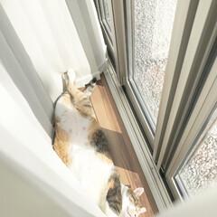 メス猫/ダイナマイトボディ/わがままボディ/日向ぼっこ/三毛猫 わがままボディのララちゃん✧  かなり寒…