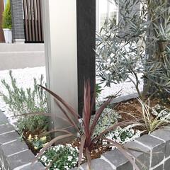 門柱周りの花壇/オリーブ/コルジリネレッドスター/クリスマスローズ/モクビャッコウ/ロータスブリムストーン/... 門柱周りの花壇に植物達を植えました✨🌿🌼…
