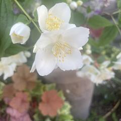 ヒューケラ/バイカウツギ/マイガーデン/半日陰/花のある暮らし/玄関/... 庭のバイカウツギが開花です‼︎ 今年は本…(2枚目)