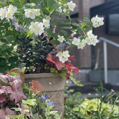 ヒューケラ/バイカウツギ/マイガーデン/半日陰/花のある暮らし/玄関/... 庭のバイカウツギが開花です‼︎ 今年は本…(1枚目)