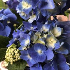あじさい/花のある暮らし/季節インテリア/梅雨/玄関あるある/雑貨/... 昨日お客様のお庭で、切っていただいた紫陽…(3枚目)