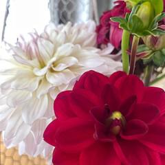 野菜を/ツルムラサキ/ダリア/庭のダリア/花のある暮らし 玄関のお花を予約のお客様来店前に大急ぎで…(1枚目)