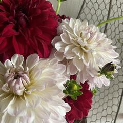 野菜を/ツルムラサキ/ダリア/庭のダリア/花のある暮らし 玄関のお花を予約のお客様来店前に大急ぎで…(2枚目)