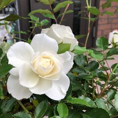 ばら/花のある暮らし/暮らし 先日行きつけの花屋さんで見つけた薔薇…名…