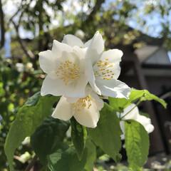 バイカウツギ/花のある暮らし/暮らし バイカウツギが咲き始めました✨  花も可…