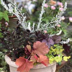 半日陰/寄せ植え/テラコッタ/花のある暮らし/玄関/ナチュラル 昨日は仕事の合間の3時間で、津の赤塚植物…(2枚目)