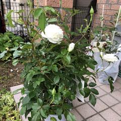 ばら/花のある暮らし/暮らし 先日行きつけの花屋さんで見つけた薔薇…名…(2枚目)