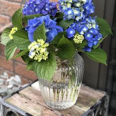 あじさい/花のある暮らし/季節インテリア/梅雨/玄関あるある/雑貨/... 昨日お客様のお庭で、切っていただいた紫陽…