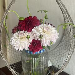 野菜を/ツルムラサキ/ダリア/庭のダリア/花のある暮らし 玄関のお花を予約のお客様来店前に大急ぎで…(3枚目)
