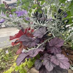 ヒューケラ/バイカウツギ/マイガーデン/半日陰/花のある暮らし/玄関/... 庭のバイカウツギが開花です‼︎ 今年は本…(5枚目)