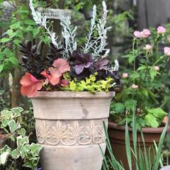 半日陰/寄せ植え/テラコッタ/花のある暮らし/玄関/ナチュラル 昨日は仕事の合間の3時間で、津の赤塚植物…(1枚目)