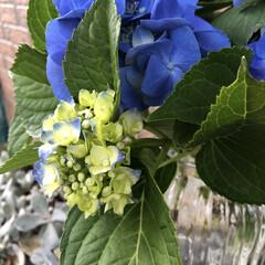 あじさい/花のある暮らし/季節インテリア/梅雨/玄関あるある/雑貨/... 昨日お客様のお庭で、切っていただいた紫陽…(2枚目)