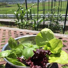 野菜収穫/家庭菜園/暮らし/今日の収穫 去年から始めた裏庭での家庭菜園!今は苗植…
