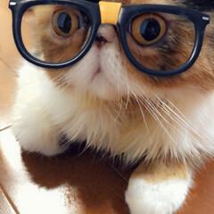 メガネ/ぶさかわ/猫好き/うちの子自慢/にゃんこ同好会/LIMIA/... メガネにゃんこ