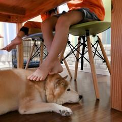 犬のいる生活/仲良し/可愛い/普通ならくつろげない/柴犬/ペット 踏まれても蹴られても足おきにされても… …