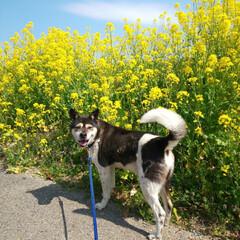 春が来た/ワンコ/菜の花/保護犬を家族に/暮らし 春の1日 ワンコと過ごす🎵 菜の花と青空…
