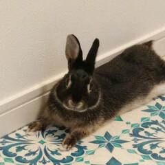 ミニウサギ/うさぎと暮らす/うさぎ/ペット/住まい うちのうさちゃん 名前はちびくろ❤