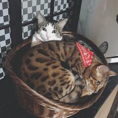 ig←Panda.factory/猫のいる暮らし/癒し/可愛い/100均/フォロー大歓迎 ダイソーで発売された新しいベットを試しに…