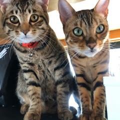癒し/可愛い/猫のいる暮らし/猫/ig←Panda.factory/フォロー大歓迎 我が家の末っ子2匹 右がベンガルなんです…