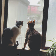 窓辺/Instagramも見てね/ig←Panda.factory/LIMIAペット同好会/猫/にゃんこ同好会/... 玄関横の窓がお気に入りの我が家の娘達♥️…