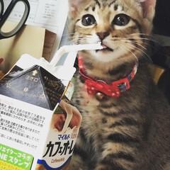 猫/ig←Panda.factory/Instagramも見てね/LIMIAペット同好会/にゃんこ同好会/うちの子ベストショット 我が家の新人♥️ 名前はニコ((๑✧ꈊ✧…