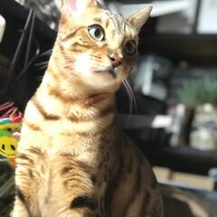 ベンガルキャット/可愛い/わがまま/親バカ部/ペット/猫 我が家のおてんば娘←BOND←ボンド ペ…
