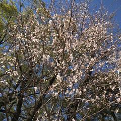 桜🌸/おでかけ 咲き始め