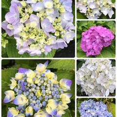 紫陽花/散歩/おでかけ 散歩してたら紫陽花がとても綺麗😍